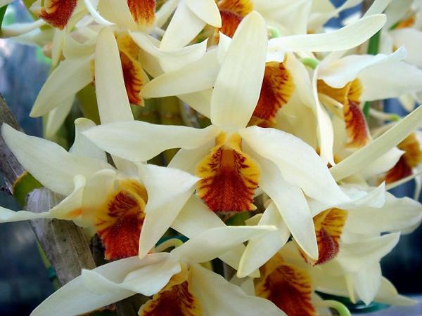 hình hoa hoàng thảo lụa vàng