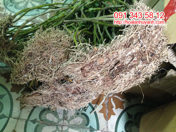 lan rừng kim thoa 2