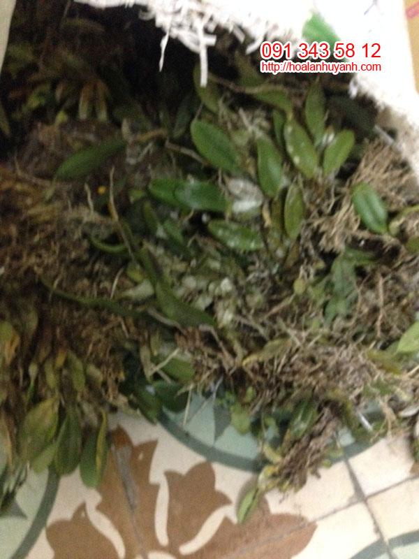 lan rừng vẩy rồng 1