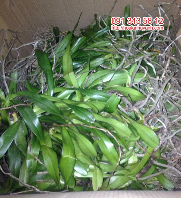 lan rừng quế lá xếp đẹp 2