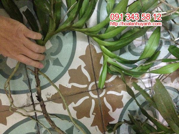 lan rừng quế lá xếp đẹp 4