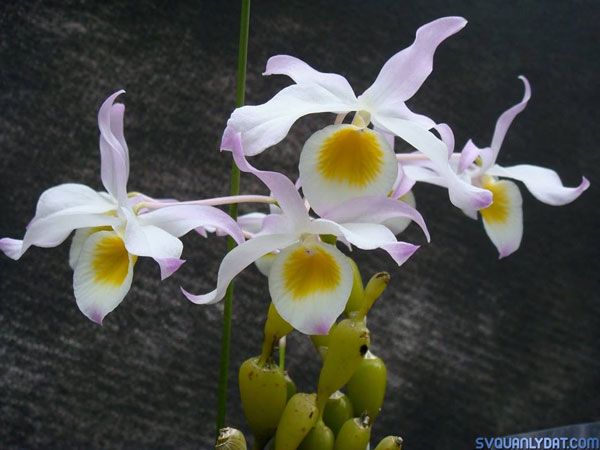 hoa lan chuỗi ngọc