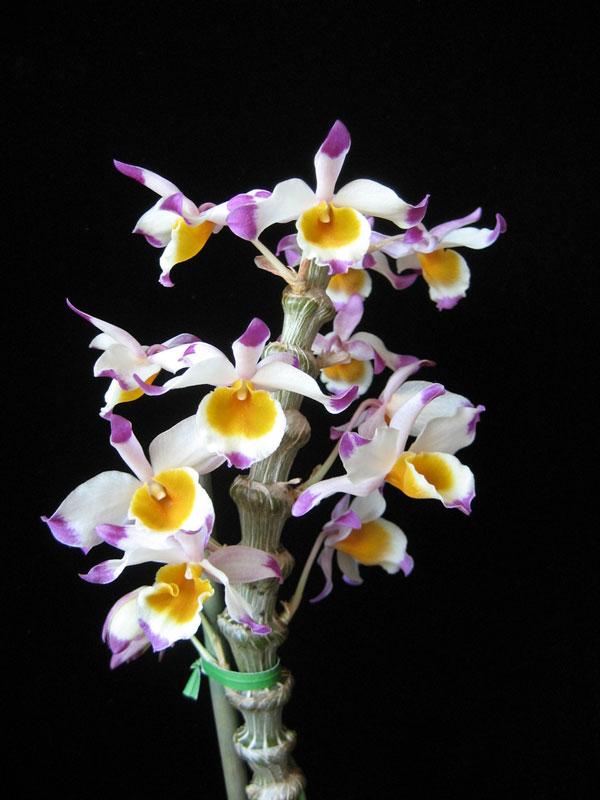 hoa lan trúc phật bà