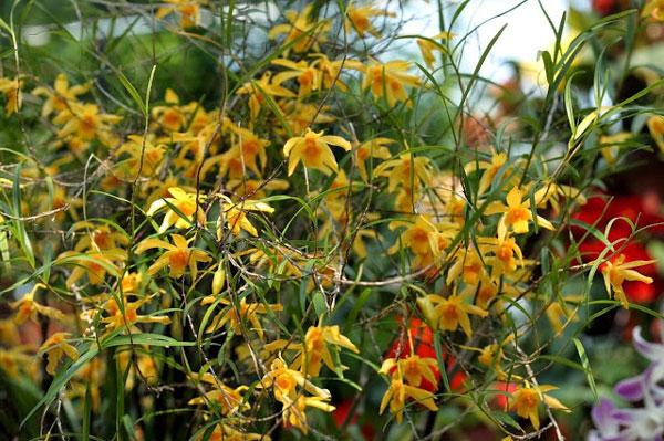 hoa lan trúc đen