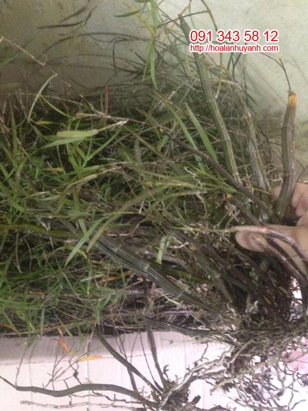 hoa lan rừng trúc đen 1
