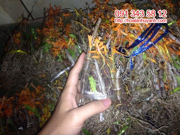 lan rừng đơn cam
