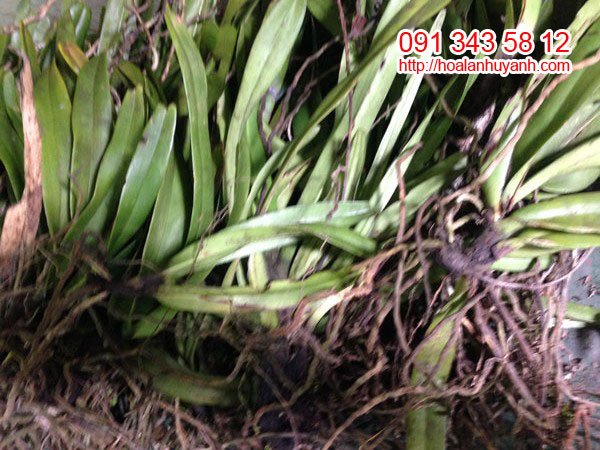 lan rừng đuôi cáo 2