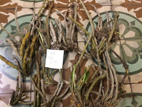lan rừng - trầm myanma 1