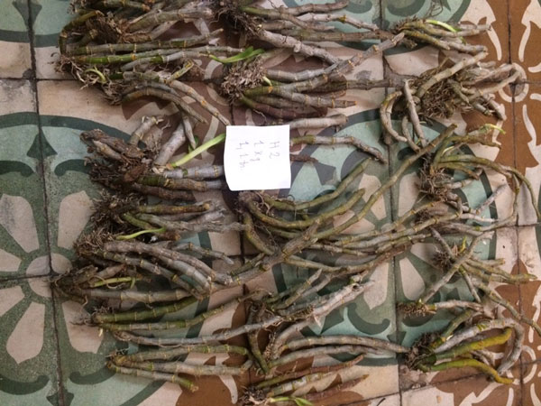 lan rừng - trầm myanma 2