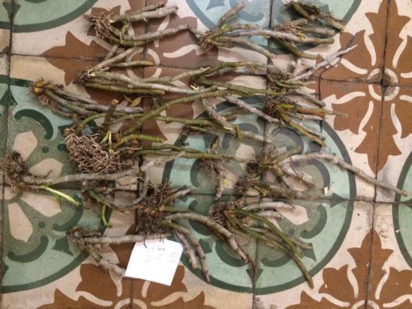 lan rừng - trầm myanma 3