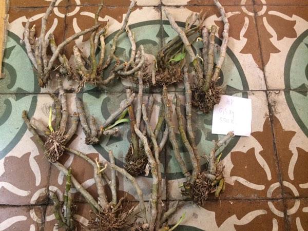 lan rừng - trầm myanma 8