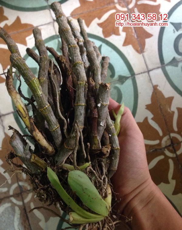 lan rừng trâm myanma 1