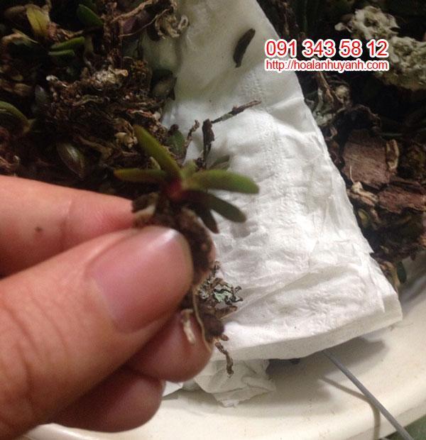 trứng bướm 2 cặp lá