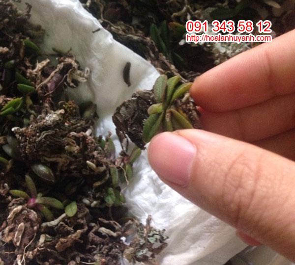 trứng bướm 3 cặp lá