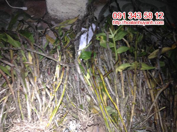 lan rừng ý thảo 3 màu 2