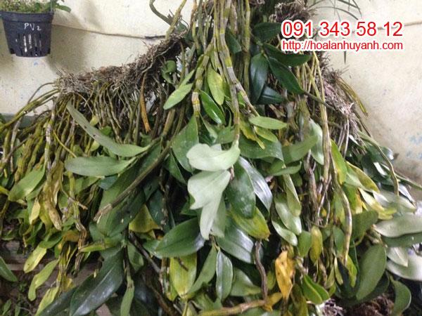 lan rừng hoàng thảo xoắn