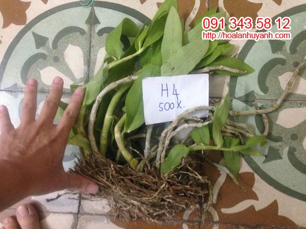 h4 trầm rừng hàng lào