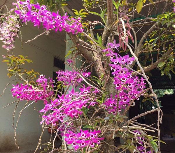 hình hoa hoàng thảo kèn