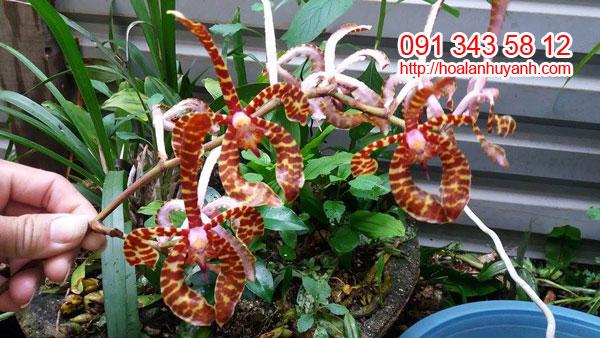 hoa lan bò cạp1