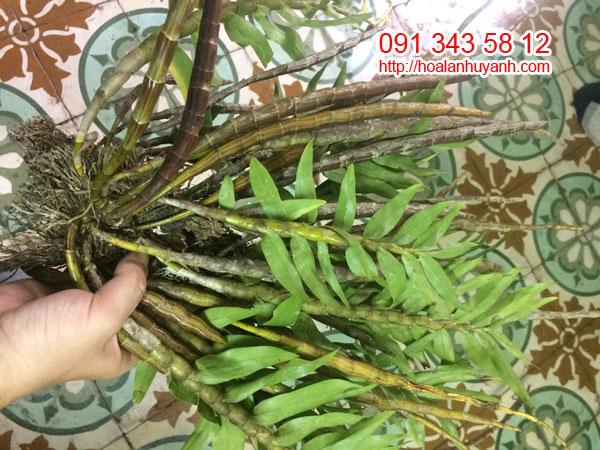 lan rừng