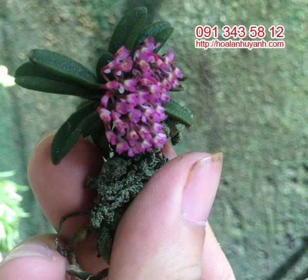 lan trứng bướm 1