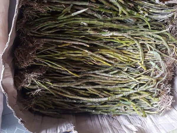 lan rừng hoàng thảo vôi