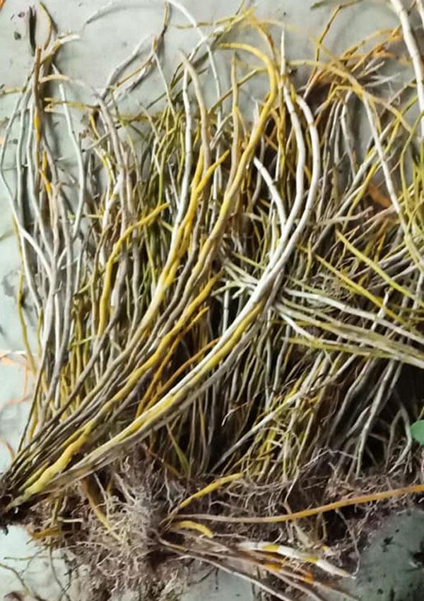 ngọc thạch lan rừng lào