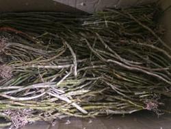 Hoàng thảo vôi, trầm rừng hàng giống