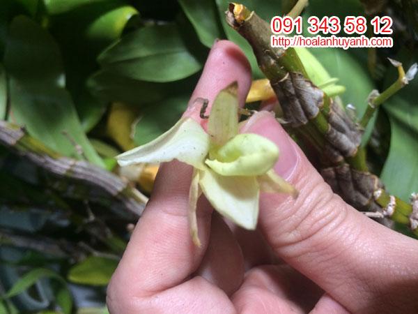 Hình hoa lan hoàng phi hạc 3