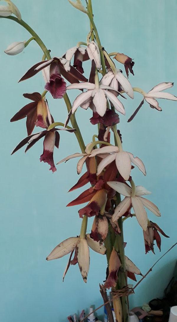 hạc đỉnh nâu hoa đẹp
