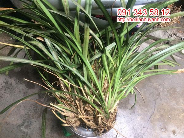 lan rừng kiếm bicolor 3