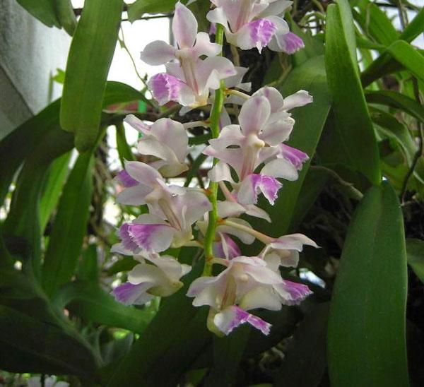 mặt hoa lan rừng tam bảo sắc 2