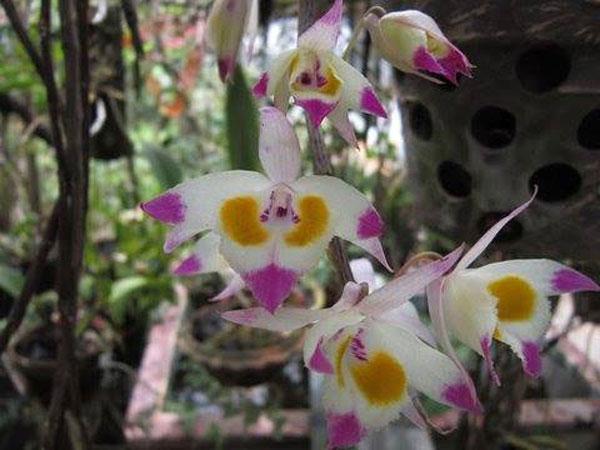 hình hoa hoàng thảo tam bảo sắc