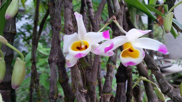 Hình hoa hoàng thảo u lồi