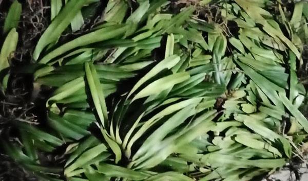 hoa lan đuôi cáo cao bằng 1