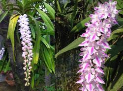 Hoa lan đuôi cáo
