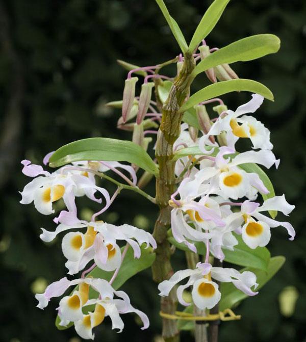 hình hoa hoa lan rừng hoàng phi hạc