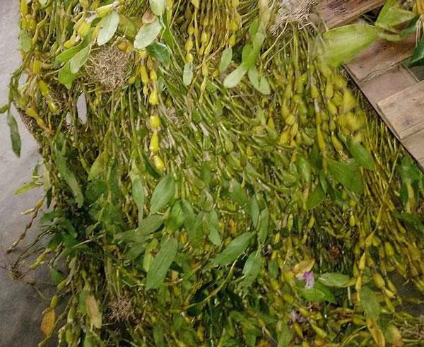 hoa lan rừng chuỗi ngọc