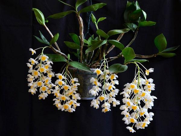 hoa kiều vuông cánh trắng