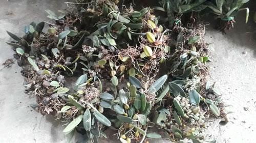 lan lọng rừng