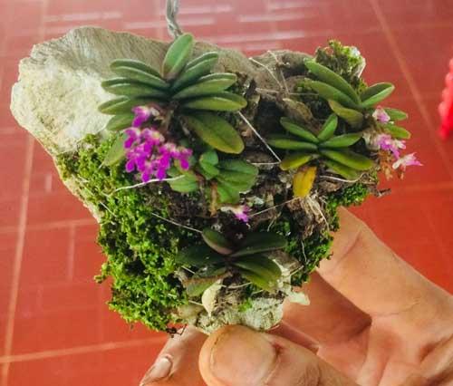 Hoa lan trứng bướm ưa không khi ấm nhưng lại cần thoáng, không được để ướt