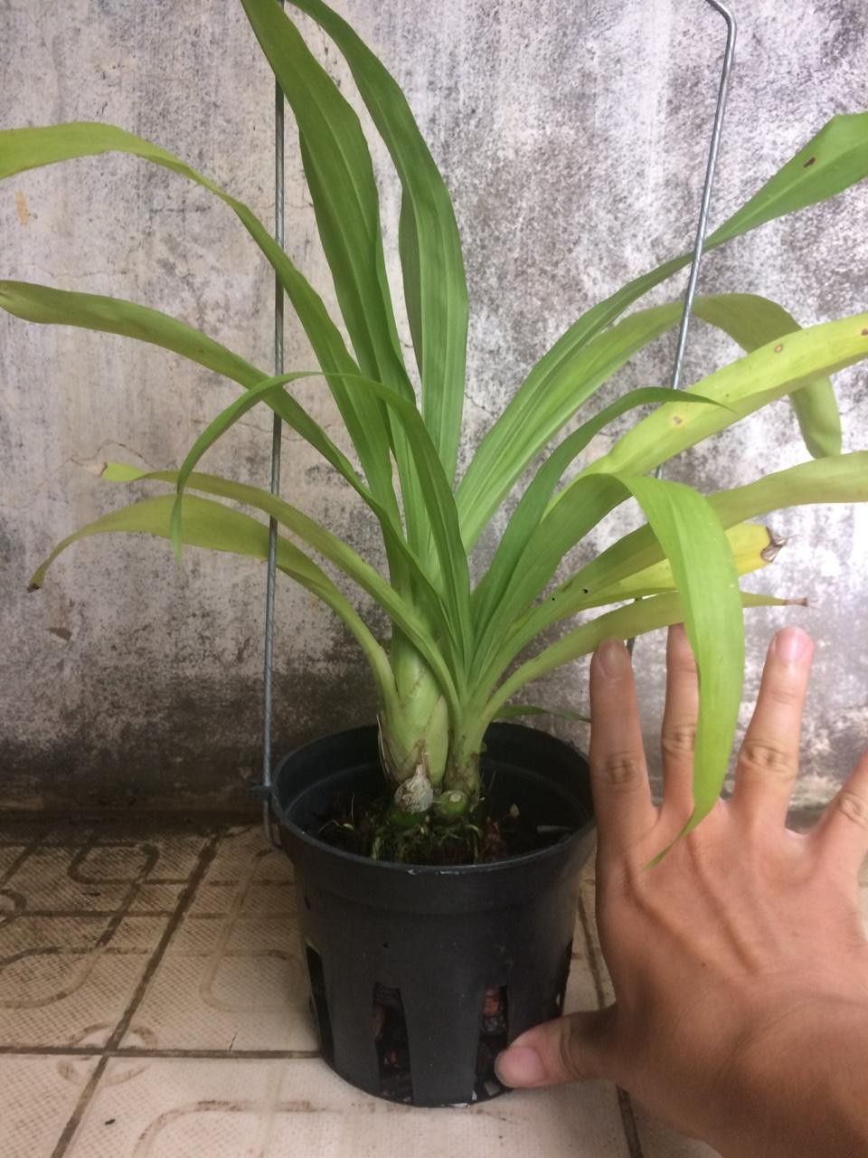 phong lan thiên nga đen