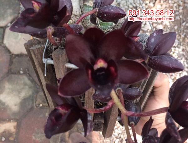 hoa thiên nga đen