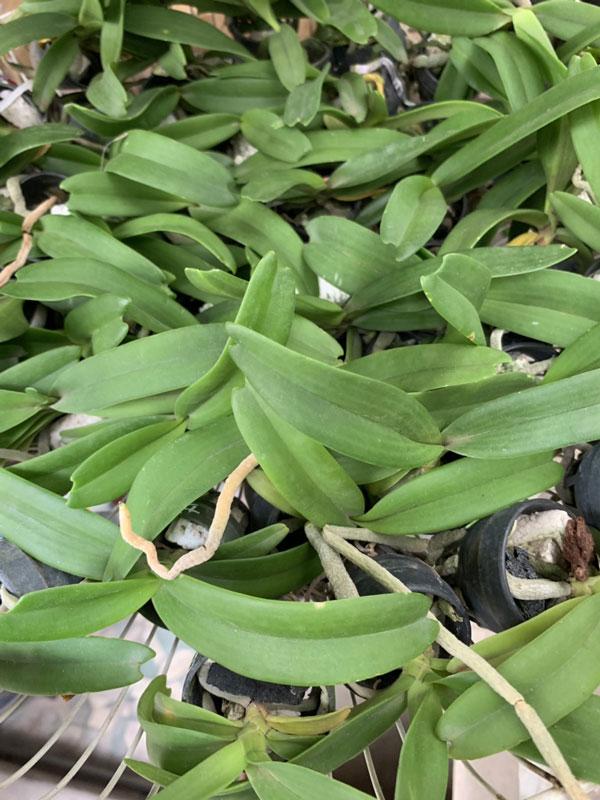lan đai châu thái cây giống 30k -3