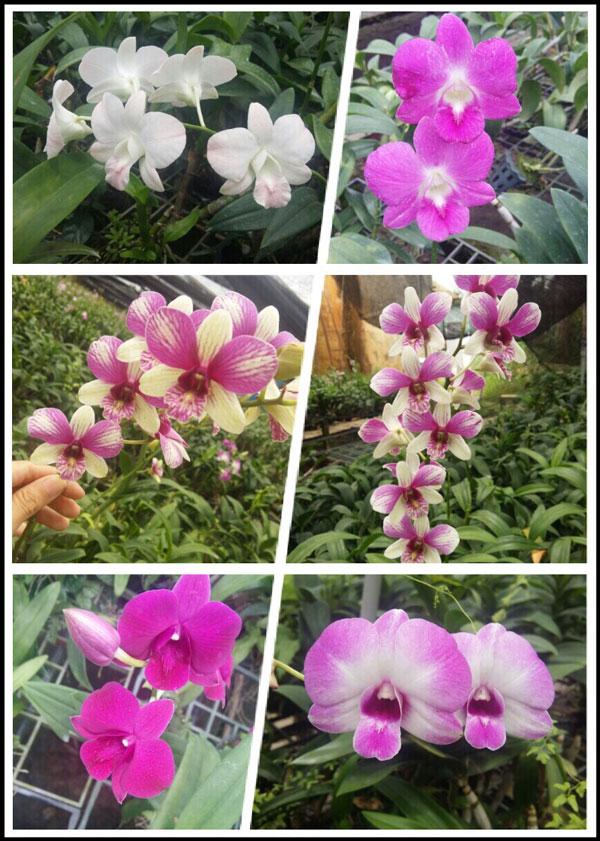 cây denro giống hình hoa 2