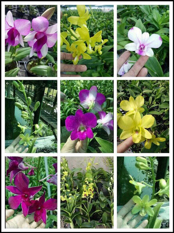 cây denro giống hình hoa 3