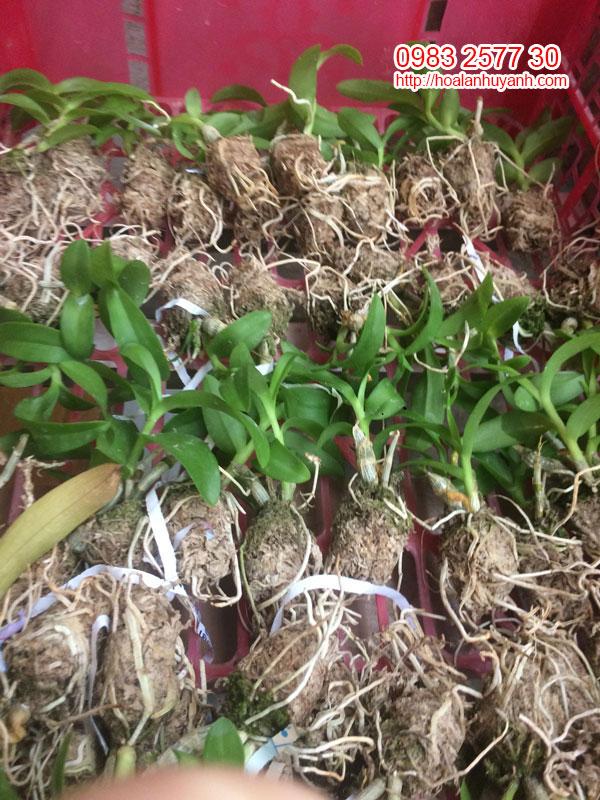 Cây trắng mũi hồng hàng gieo hạt