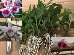 Kei phi điệp rừng, mặt hoa tuyển