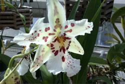 Vũ nữ mỹ hoa trắng Stargazer