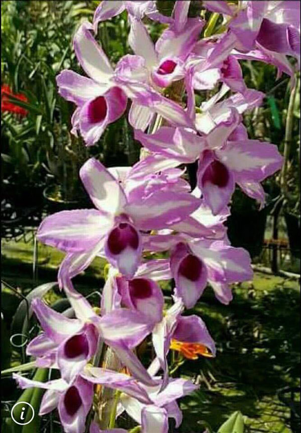 hình hoa lan chớp mỹ 1